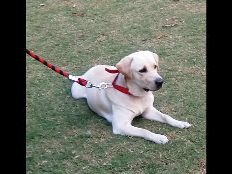 Labrador Playing India