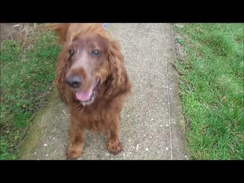 Meet Jameson, American Irish Setter Dog from Virginia