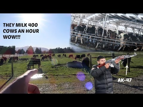 DAIRY FARM TOUR IN NEW ZEALAND