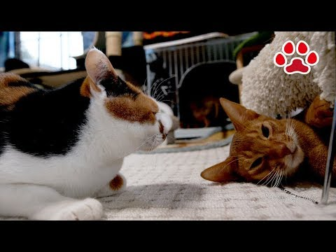 Abyssinian Luca tries to escape from a staring calico Mi-ke.[Cats room Miaou]三毛猫に睨まれたアビシニアン
