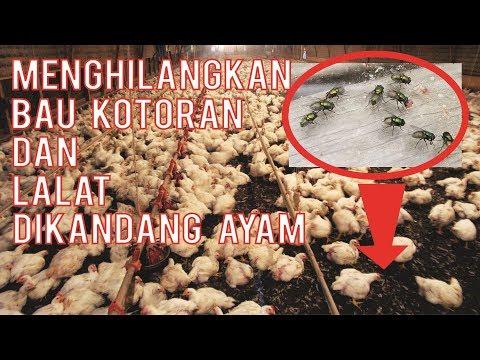 Cara Menghilangkan Bau Kotoran & Lalat di Kandang Ayam | Seputar Budidaya Ayam Pedaging Part 2 Mp3