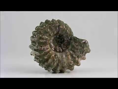 アンモナイト 化石 87g / Ammonoidea