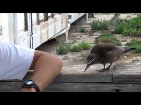 Curious Brown Noddy, Tern Island