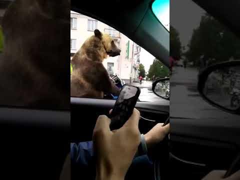 Цирковой медведь на мотоцикле показывает фак