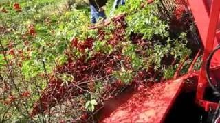 Weremczuk - JOANNA-3 - zbiór dzikiej róży (half row berry harvester - harvesting rose hip)