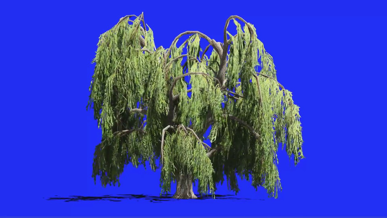 Willow Tree In Wind Blue Screen
