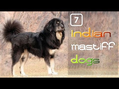 7 Mastiffs Dog of India
