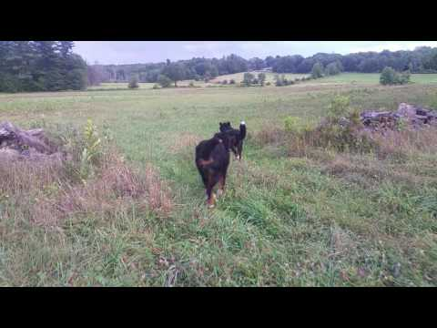Walking our Bernese Mountain Dogs