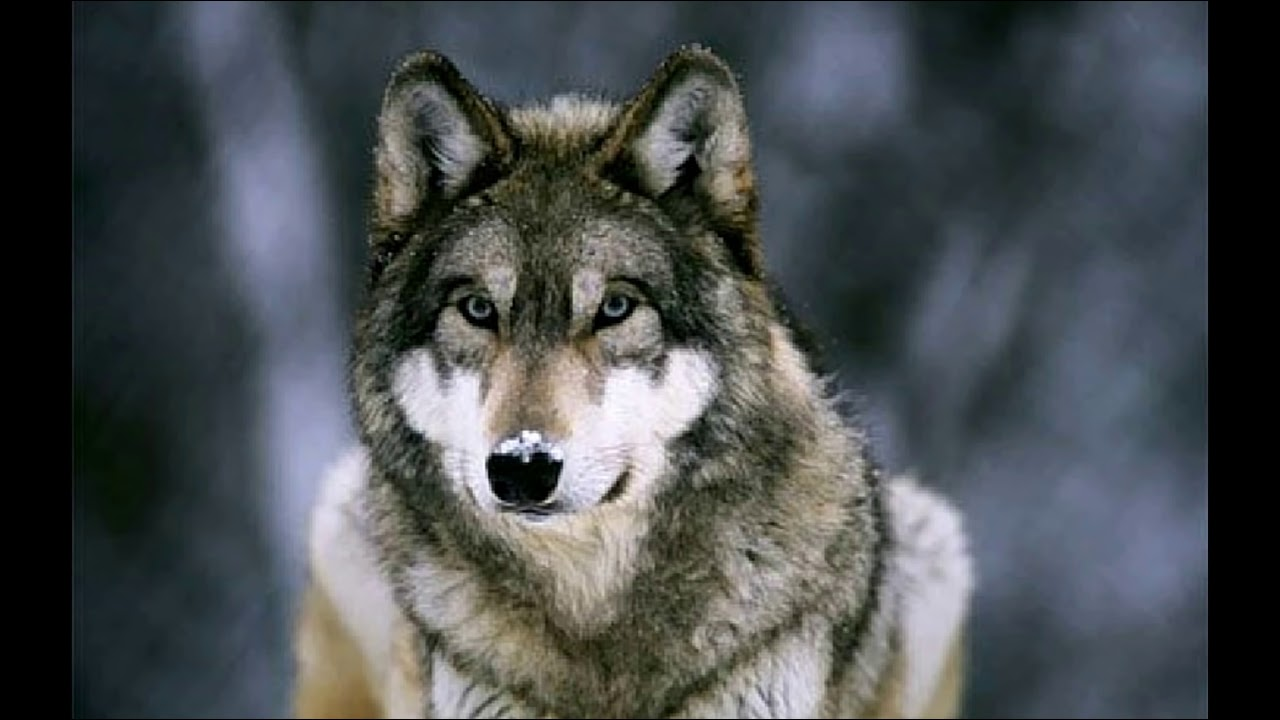 Wolves Howling In Nature Youtube