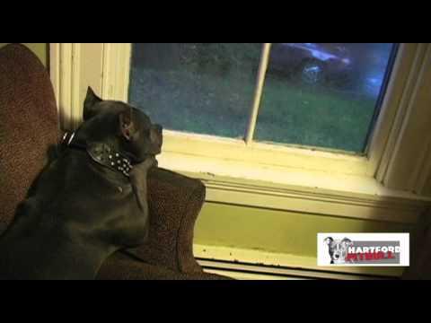 Hartford Pitbull : Smokey gets ready for Hurricane Irene!