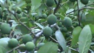 Плоды терна-Терновник