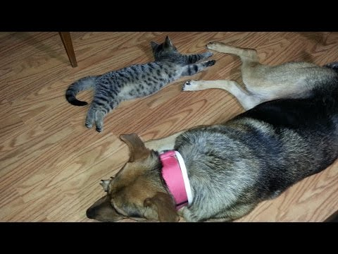 Dog vs Cat - Kalla and Little Stuff Play Fight