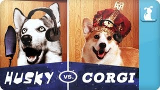 Pet Vs. Pet Rap Battles: Husky Vs. Corgi