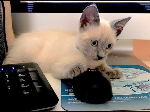 Siamese Kitten Personality