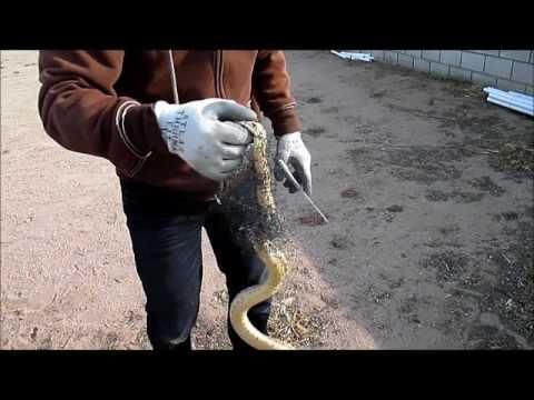 Oak Hills, California: Snake entangled in a bird net