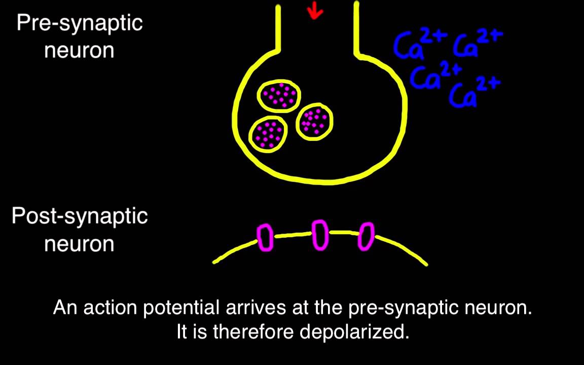 suboxone neuron and post synaptic potentials Synaptic transmission (the neuron) the presynaptic terminal and postsynaptic neuron are separated by a graded potentials travel through the neuron until they.