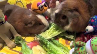 Морские свинки едят, дерутся, издают звуки(Забавные, классные морские свинки едят салат-латук, дерутся за еду, издают забавные звуки зубами и челюстям..., 2013-03-05T23:44:47.000Z)