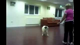 Deaf Dog Obedience Training