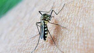Picaduras de mosquito Tigre