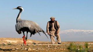 شاهد كيف يصطاد الأفغان طائر الكركي
