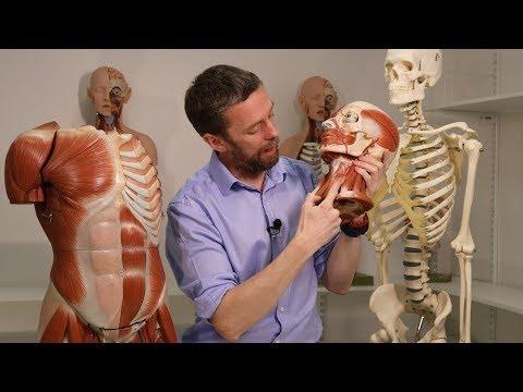 Fascia of the neck (anatomy)
