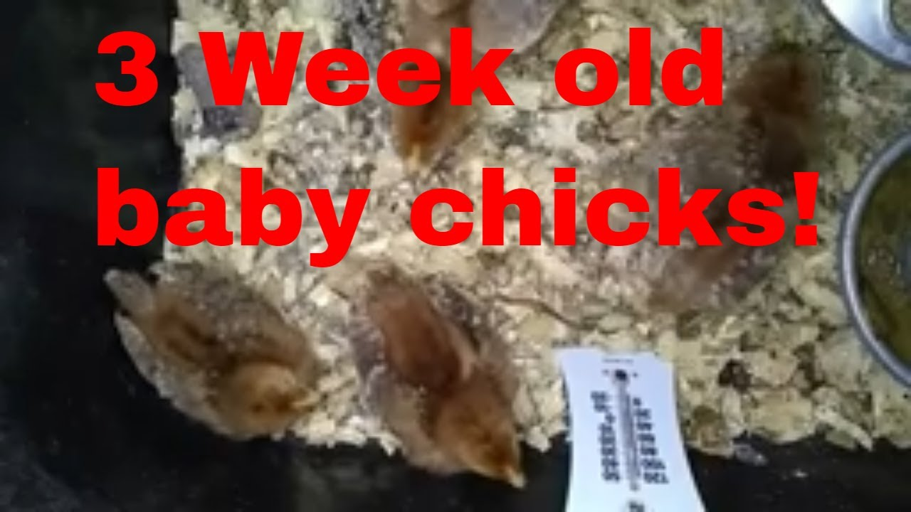 Update: Chicks are 3 weeks old! Baby Red Chicks 2020