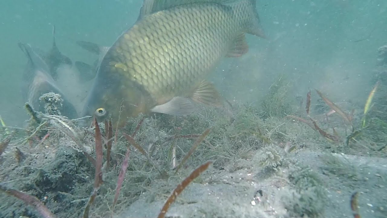 Подводные съемки ловли карпа. Как клюет карп. Утиное озеро. Underwater video of carp biting.