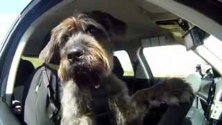 Meet Monty,the World's First Driving Dog ! + Best Dog Training Books,dog Training In Tampa