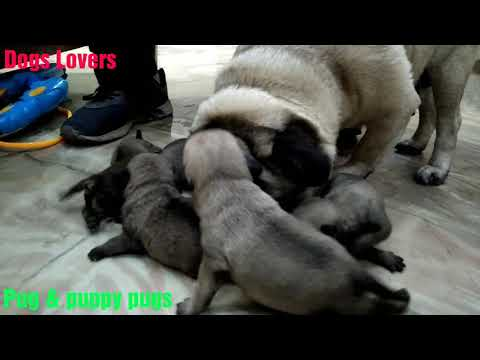Pug female dog #Belly & her new born Baby pugs || Dog Lovers || 🐕🐕