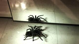 Big spider Mygale/ araignée géante lasiodora parahybana