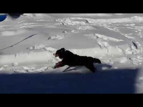 Bernese Mountian dogs in the snow