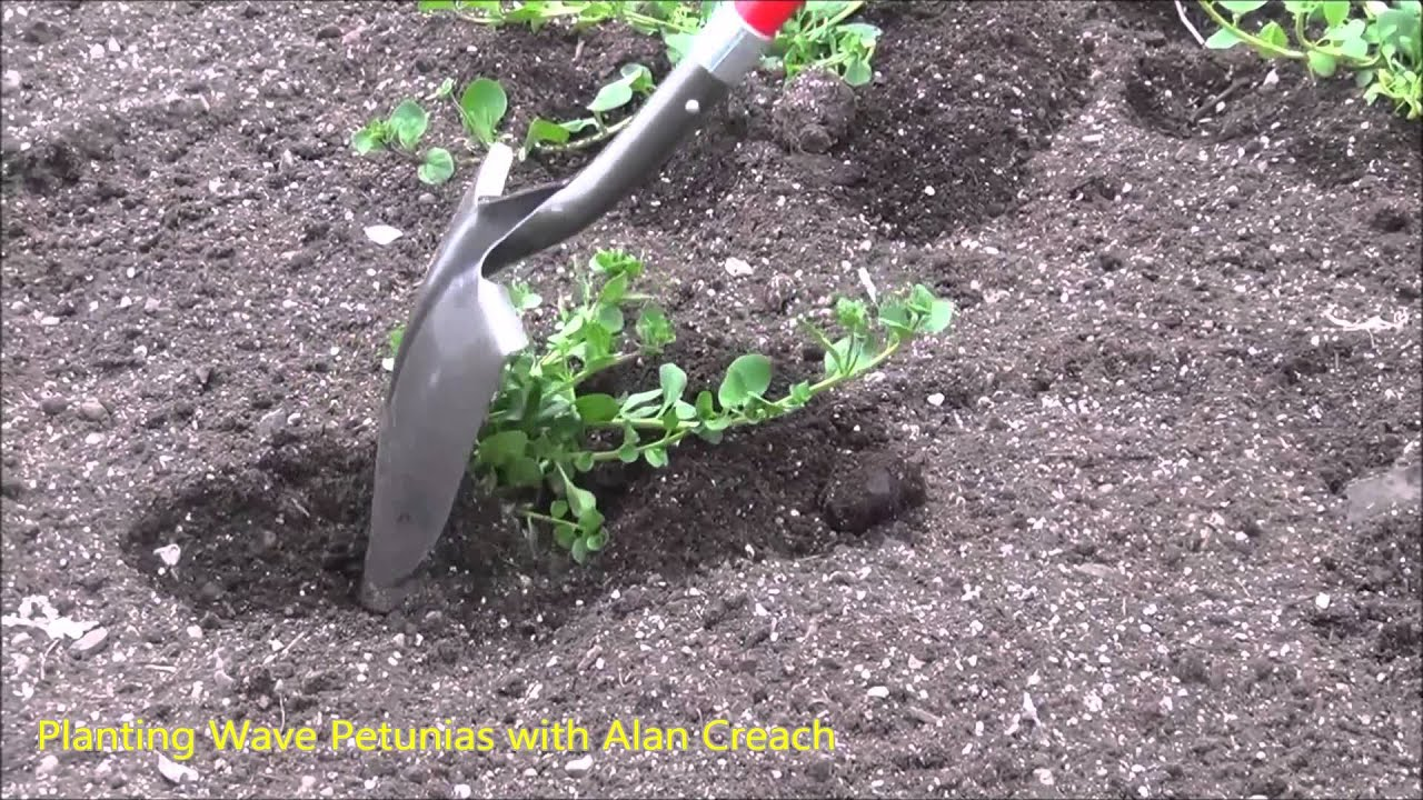 How To Plant Wave Petunias Youtube