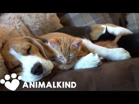 Beagle nurses kittens like they're her own babies | Animalkind