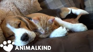 Beagle nurses kittens like they're her own babies | Animalkind
