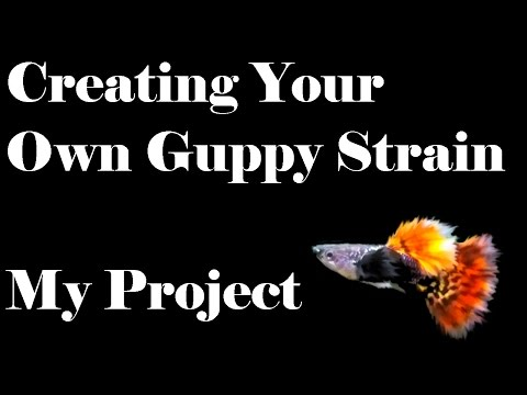 Creating Your Own Guppy Strain - My Project - Part 1