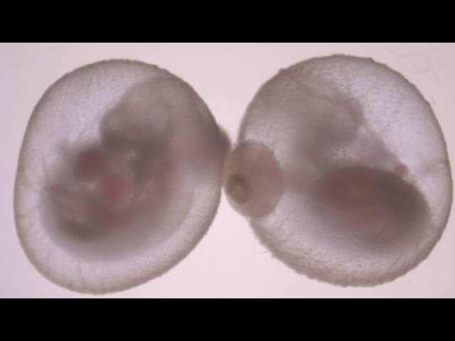 Advanced embryo growth outside a uterus