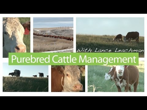 - Hereford -  Purebred Cattle Management - Genetic Change