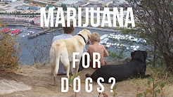 Marijuana and CBD Oil For Dogs?