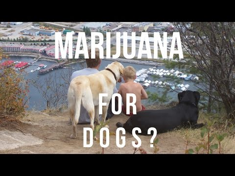 Marijuana and CBD Oil For Dogs?