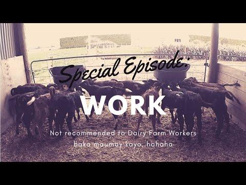 New Zealand Farming: Special Episode : Work (Calf Feeding) Baby Cow!!