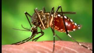Florida Keys Residents Petition FDA Over Genetically Modified Mosquito Release