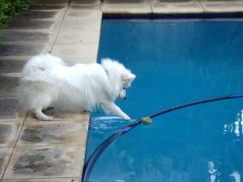 Japanese Spitz tries to get tennis ball out of swimming ...