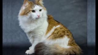 Ragamuffin cat History,Personality,Health,Care