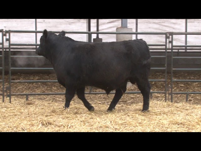 Schiefelbein Angus Farms Lot 284