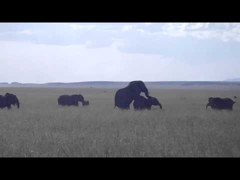 Elephants mating Travel Video