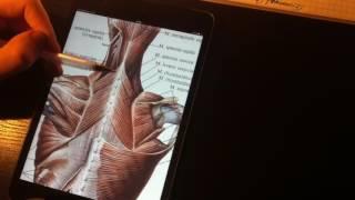 1 18  Поверхностные мышцы спины