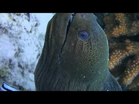 Moray eel and cleaner wrasse are best friends