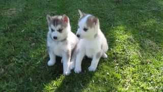 Siberian Husky Puppies - Dob 24may13 - Taken 30june13 - 2
