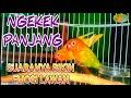 Pancingan Lovebird Ngetik Ngekek Panjang Masteran Lovebird Gacor  Mp3 - Mp4 Download