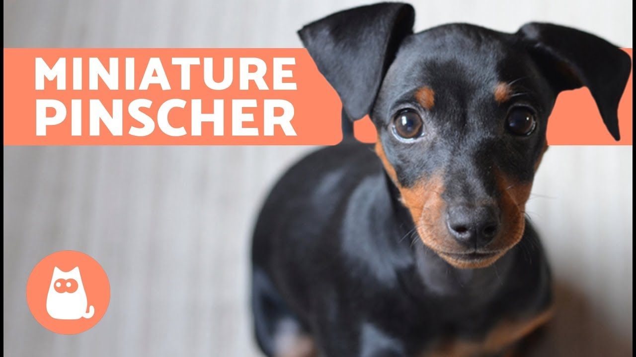 Miniature Pinscher Characteristics Care And Training Youtube